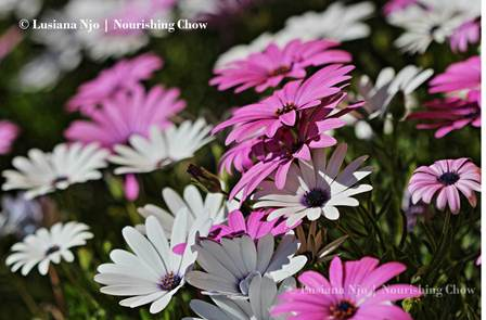 White and purple African daisies