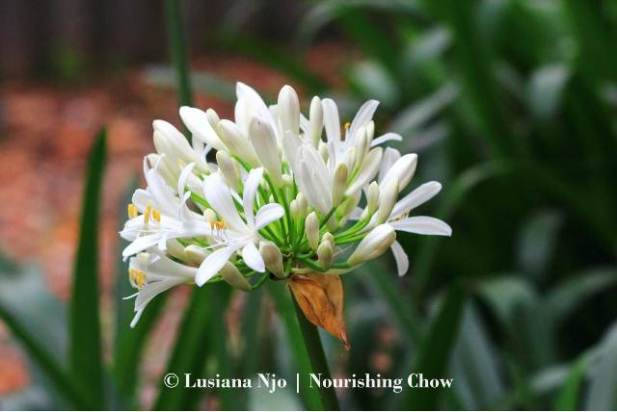Agapanthus, white flowers
