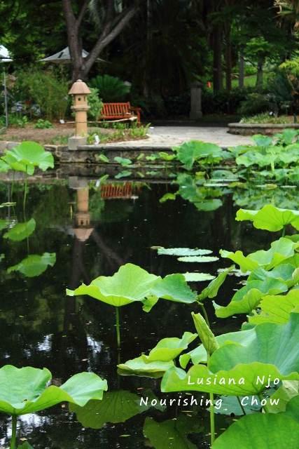 Lotus pond, Royal Botanic Garden, Sydney