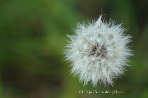 IMG_0993-nclnjo-p365-d13-dandelion