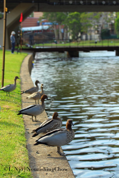Ducks at Parramatta river