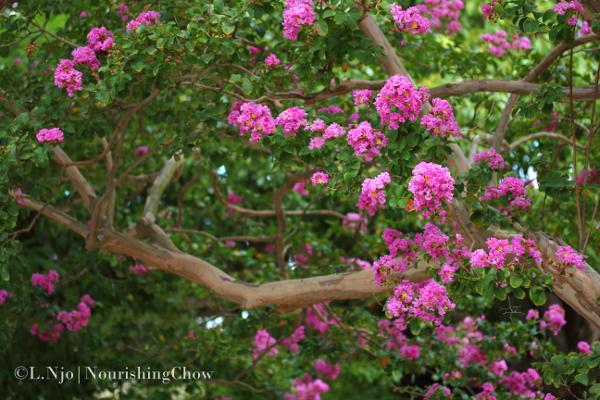 Queen's crape myrtle, a flowering tree