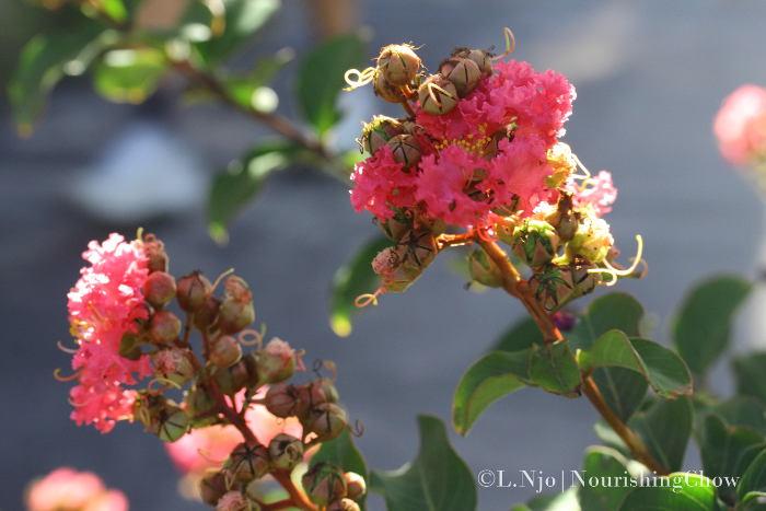 crape myrtle flower buds