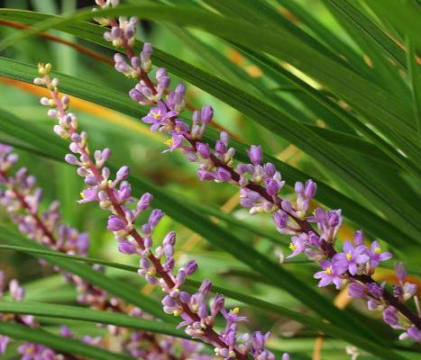 Small Ornamental Grasses With Purple Flowers P365 D57: Small...