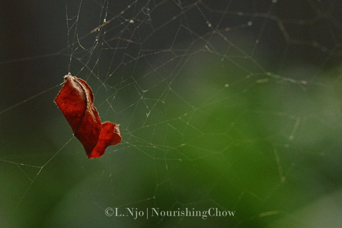 leaf suspended in spider web