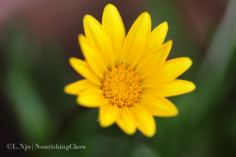 yellow daisy, macro, close up, canon 60mm macro
