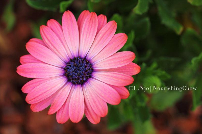 African daisy, osteospermum, pink
