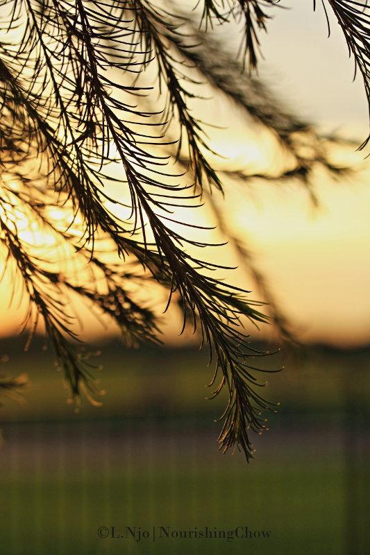 backlit, pine leaves, sunset, flare
