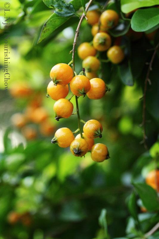 pyracantha, firethorn, orange berries, pomes