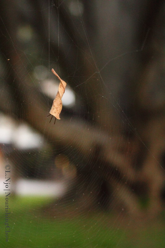 spider web, dry leaf, spider hiding