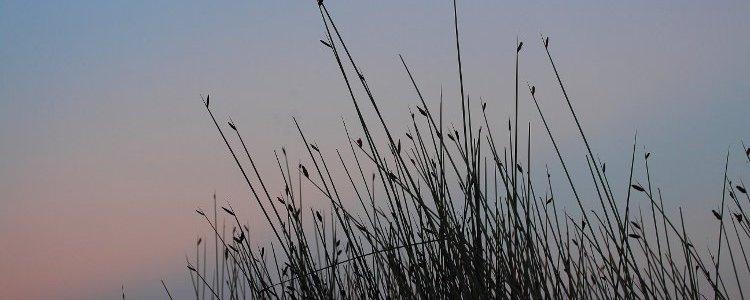 twilight, tall grass