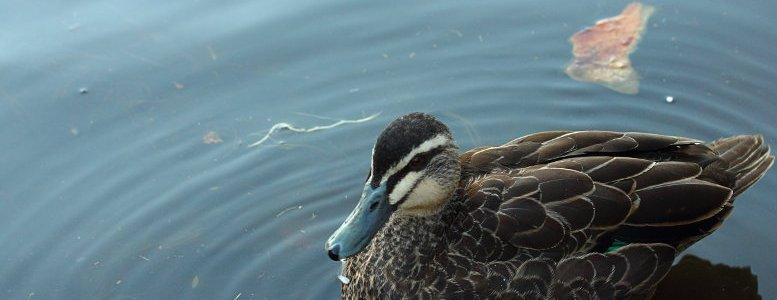 duck, water, lake