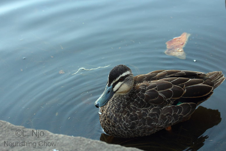 A duck waiting for a feed