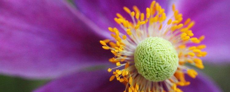 flower, purple petals, orange centre